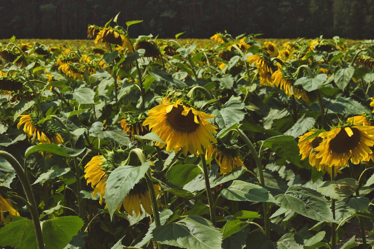 #photography #Ukraine #canon #canonphotography #canonukraine #фотографія #Україна  #sunflower #nature #NaturePhotography