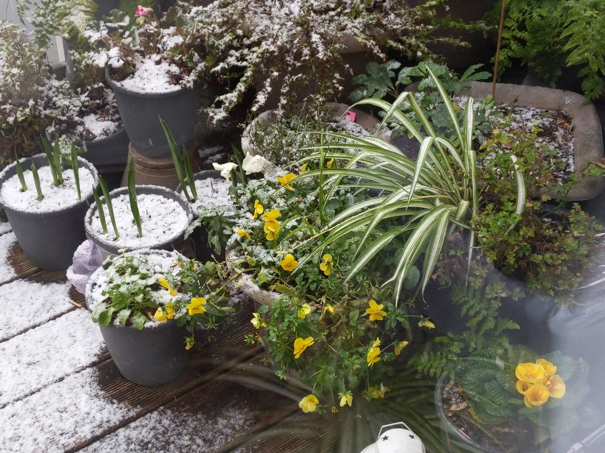 It's snowing. This isn't the garden I expected to see mid-winter!  #flowers #annuals