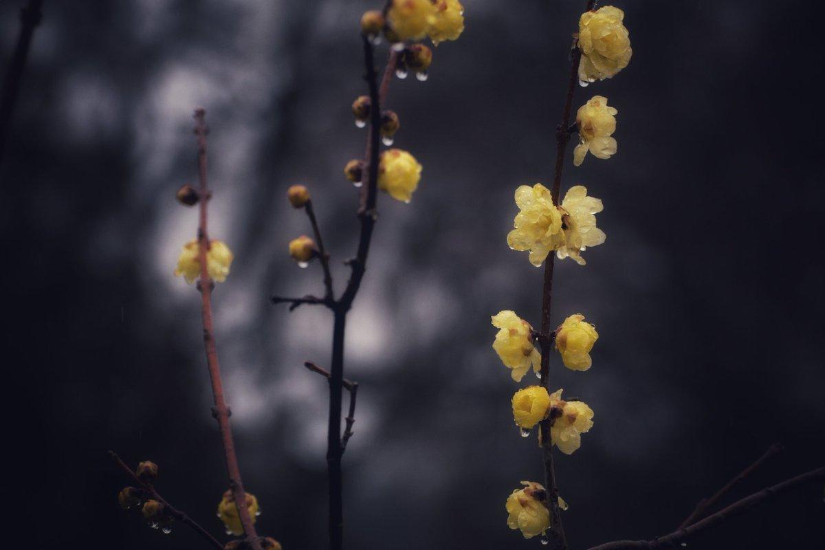 ウィンタースイート。  #蝋梅 #Flowers  #TLを花でいっぱいにしよう
