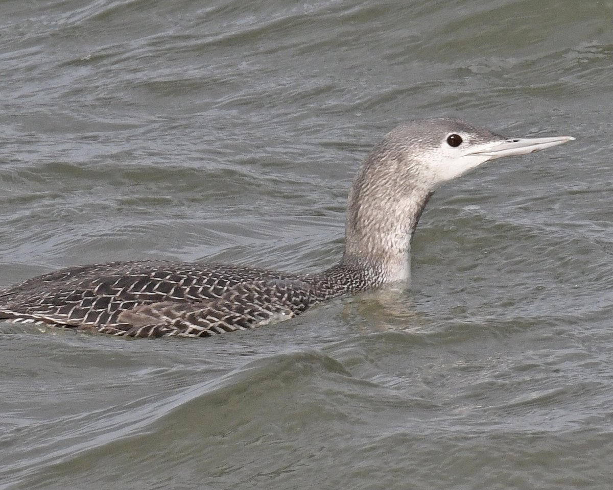 #redthroatedloon #loon #waterfowl #bird #birds #birdwatching #birding #nature #wildlife #animals #nikon #photo