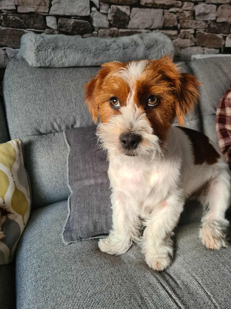 Mum says I look like a teddybear, what do you think?   #reallifeteddybear #dogs #doglife #jackztu #shihtzu #shihtzulove #jackrussellterrier #jackrusselllove #puppies #shihtzus #jackrussell #furbaby #furbabies