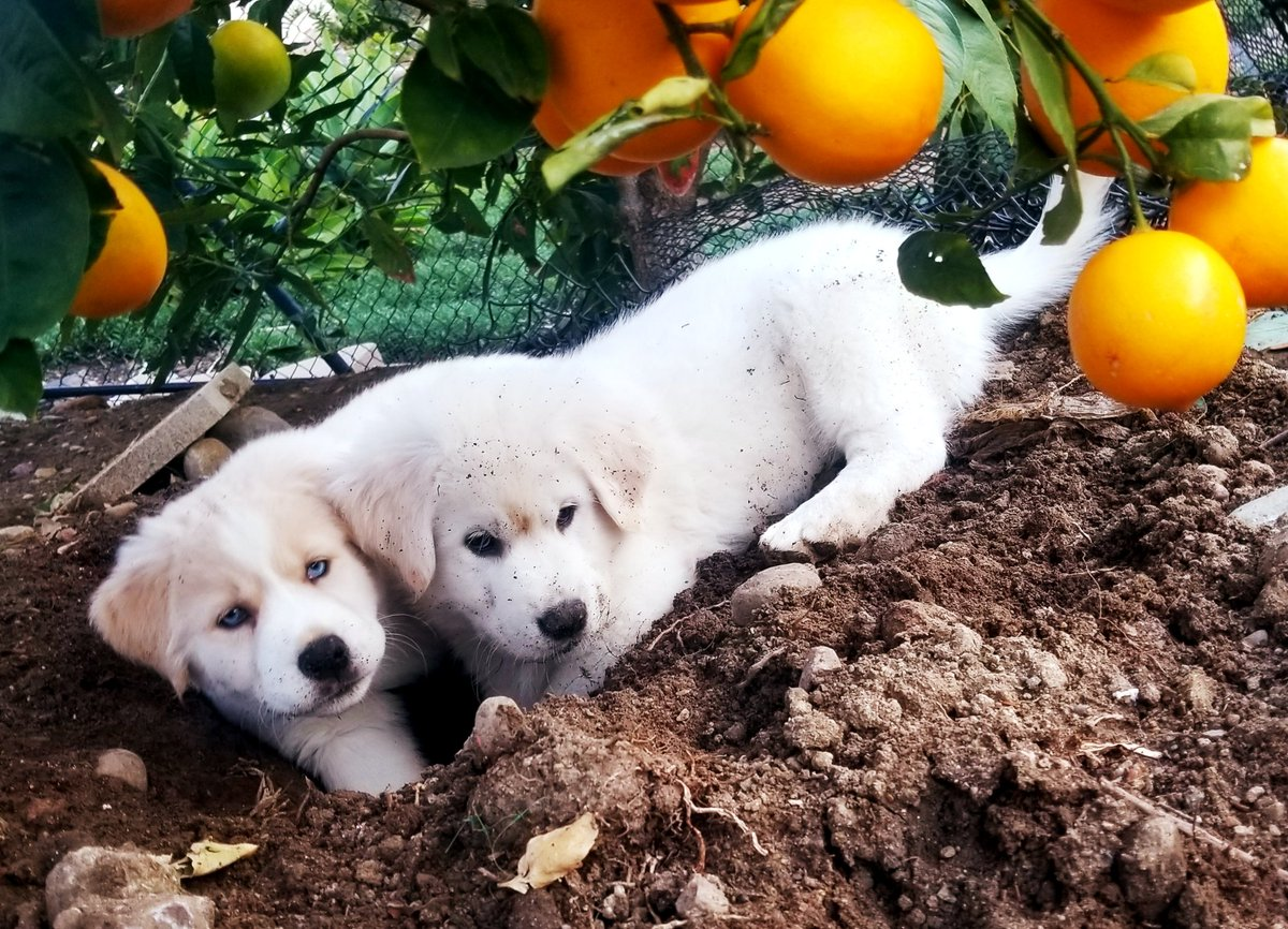 @dionnewarwick #dionnewarwick our puppies digging a hole