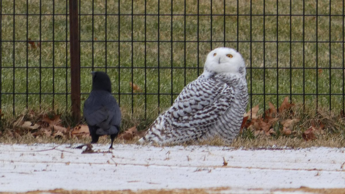 The SNOWY OWL on a west ballfield of the Central Park North Meadow, perhaps the first-ever documented record of this species in the park, with its new buddy, an American Crow.