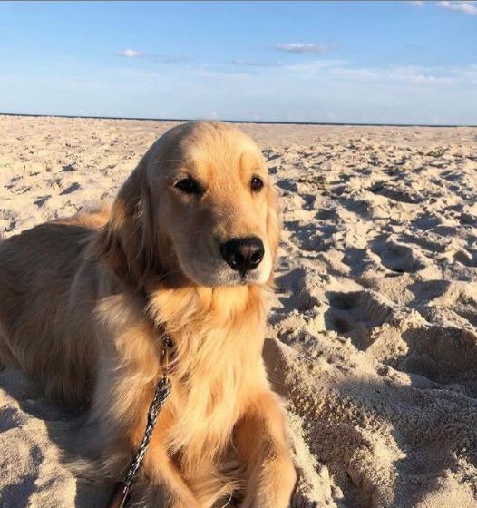 So pretty 😍😍😍 #impeachandconvict #HappyBirthdaySashaBanks #dogsoftwitter #FlatTuckerSeesHisFriends #bowtie #dogs #ZSHQ #smileforbert #goldenretriever #dogsoftwitter