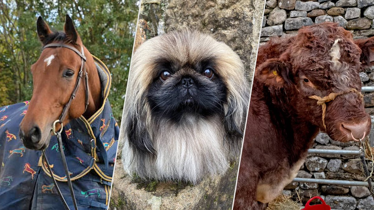 Want to know about nearly all the animals, great and small, that you see onscreen in the 2021 TV adaptation of All Creatures Great and Small? https://t.co/jlHW7ThFfC #AllCreaturesPBS https://t.co/8eSvQ2VSrW