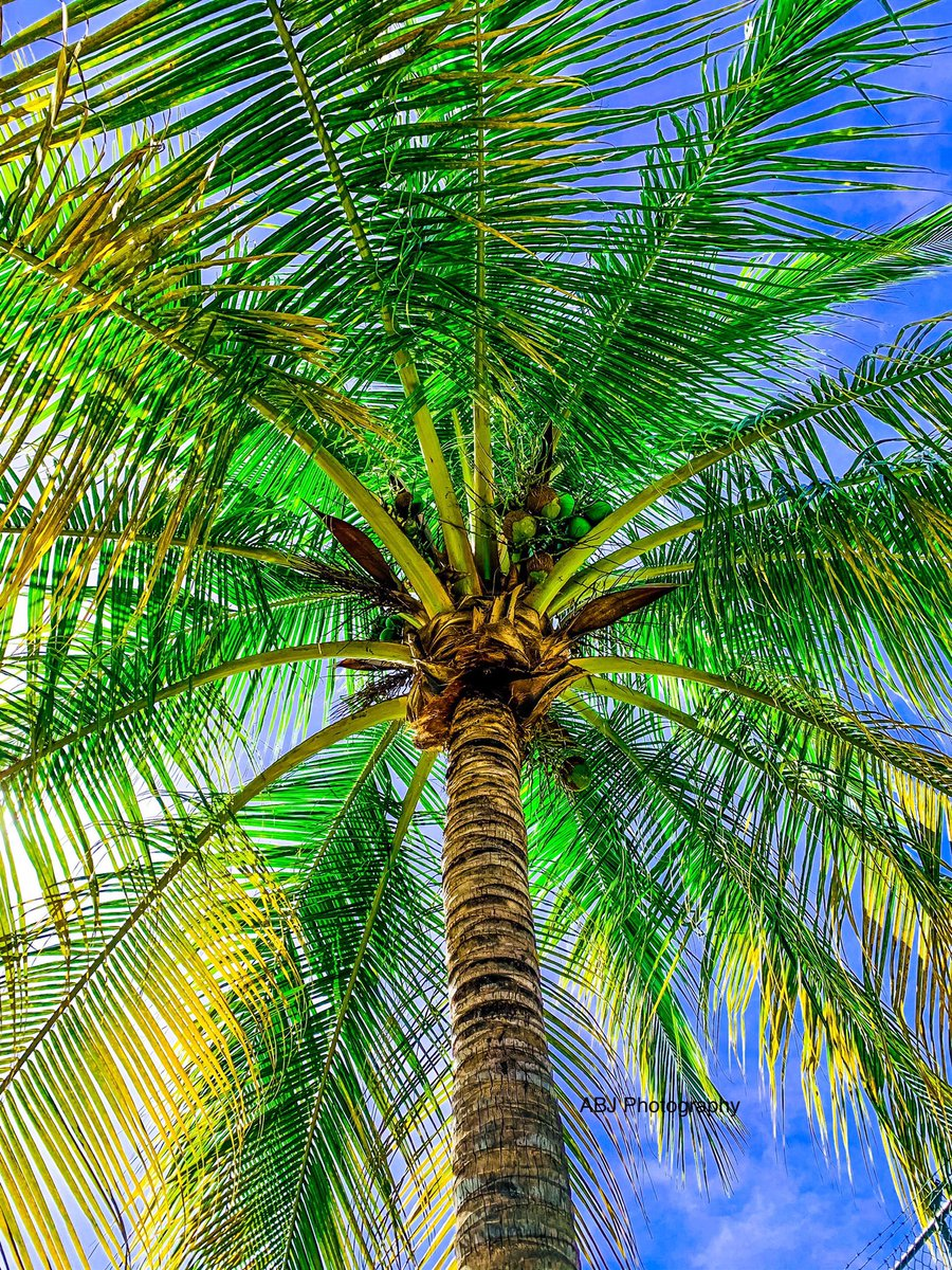 Palm #PuertoVallarta #TrueBeauty #beach #mexico #jalisco #CDMX #beachvibes #palmas #palmeras #Coast2Coast
