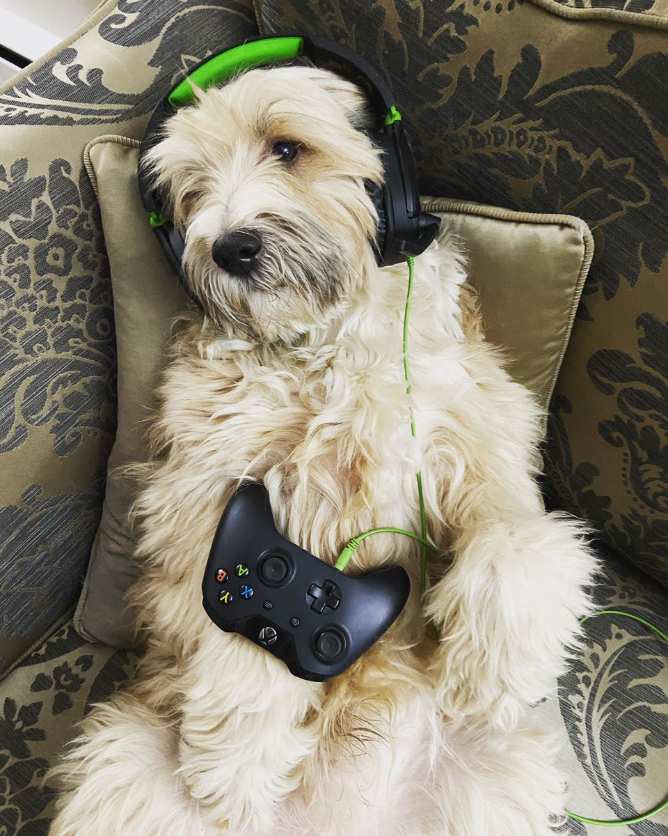 When the dog steals my XBox... 🐶🐶🐶  In the meantime... Gamertag: simonemo69  #Dogs #DogsOfInstagram #TibetainTerrier #Max #XBox #GamerDog #ThugLife #Woof #DropTheMic 😎🐕🎮💬