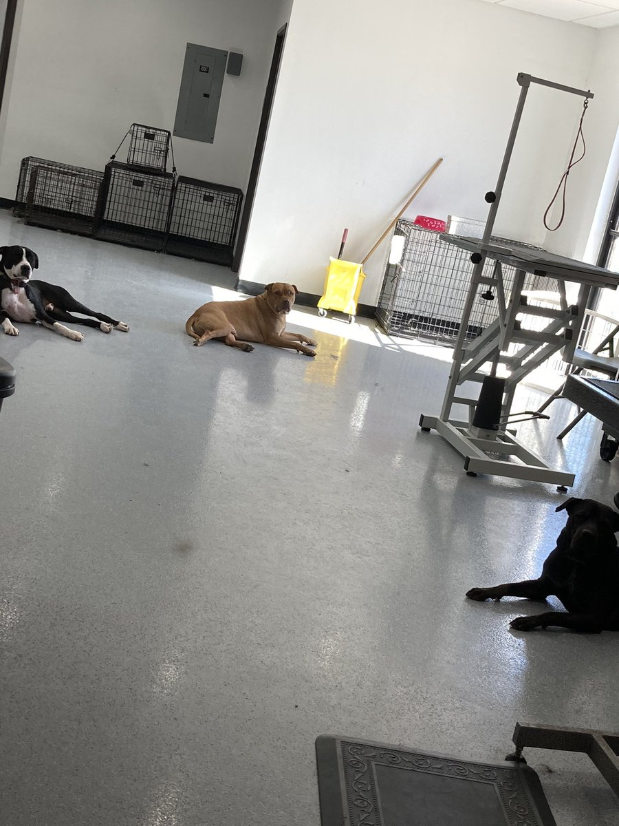 The boys are chillin...  Our cage free style allows dogs to walk around and socialize freely! It's like a puppy play date with a groom thrown in😉 #doggrooming #cagefreegrooming #doglife #puppylove