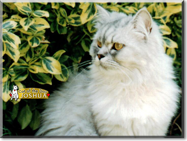 Wednesday's Cat of the Day is #sweet Joshua, a #Persian #kitty #love - talk of him at  #catoftheday #cats #catsofinstagram #cat #CatsOfTwitter
