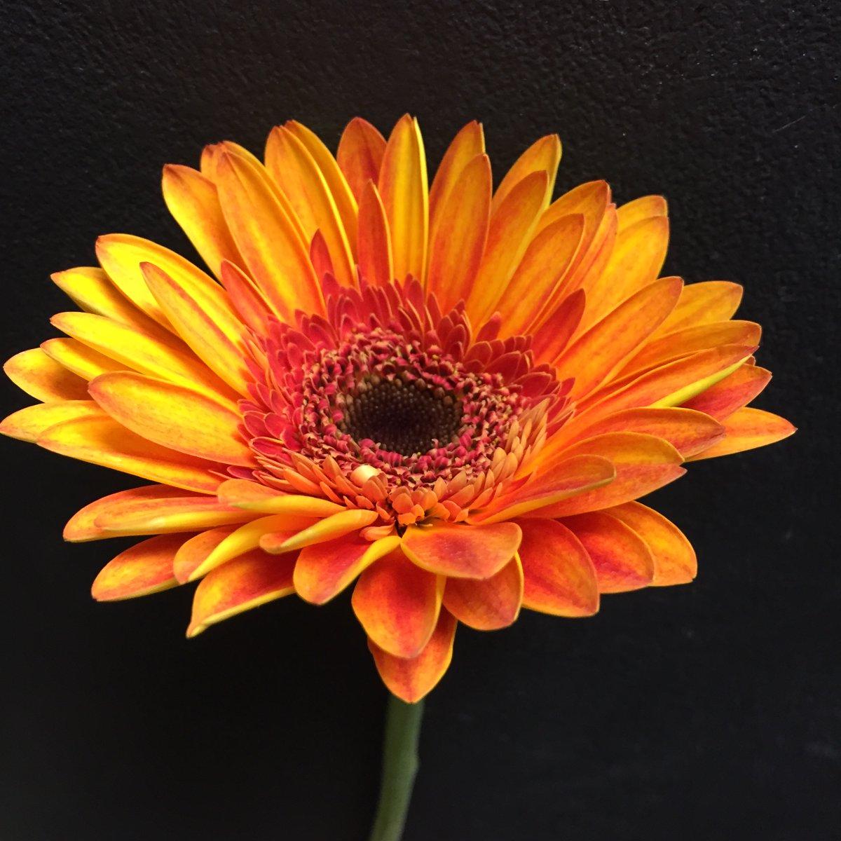 Oh so beautiful! 🧡 . . #steinflorist #steinyourflorist #flowers #florist #flowershop #floristry #shopsmall #shoplocal #smallbusiness #gerberadaisy #gerbera #daisy