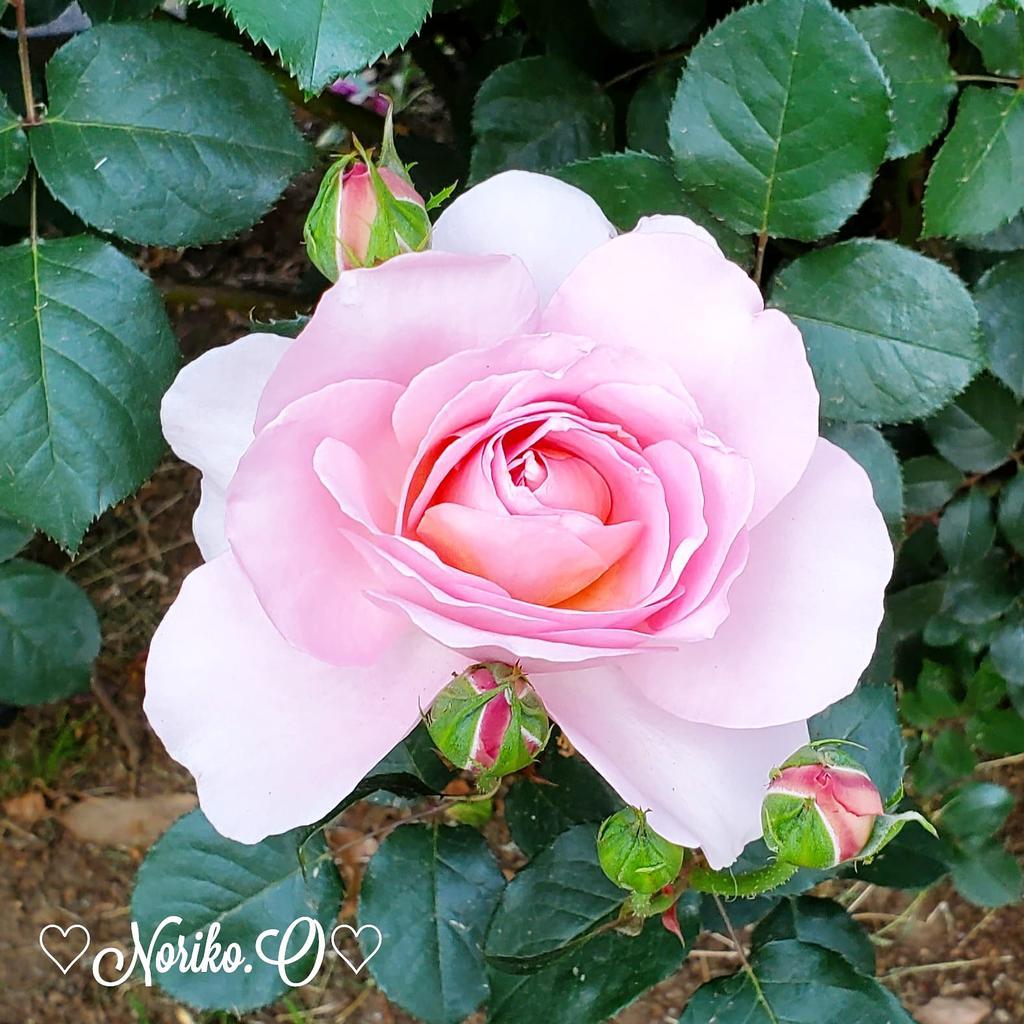 昨日から一転 気温大幅ダウン 寒い一日~ #おはよう  #goodmorning  #写真好きな人と繋がりたい #ファインダー越しの私の世界  #roses  #薔薇  #flowers  #flowerlovers #flowerlife  #花  #花のある生活  #お花と過ごす時間  #2021年 #January #1月 #japan  #今日の一枚  #ガーデニング  #冬 #WINTER