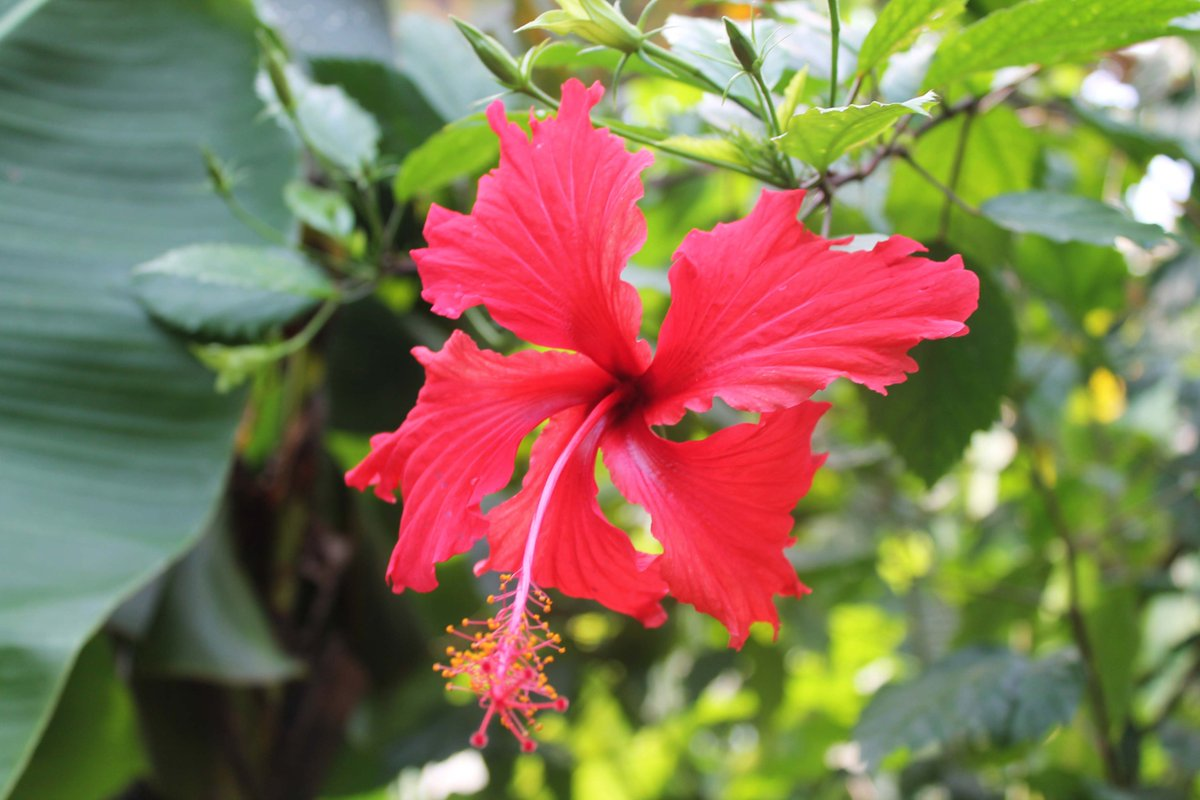 Red Hibiscus  (@edenproject, Cornwall, August 2013)  #Photography #NaturePhotography #Nature #Horticulture #Plants #Flowers #Hibiscus #EdenProject #Cornwall
