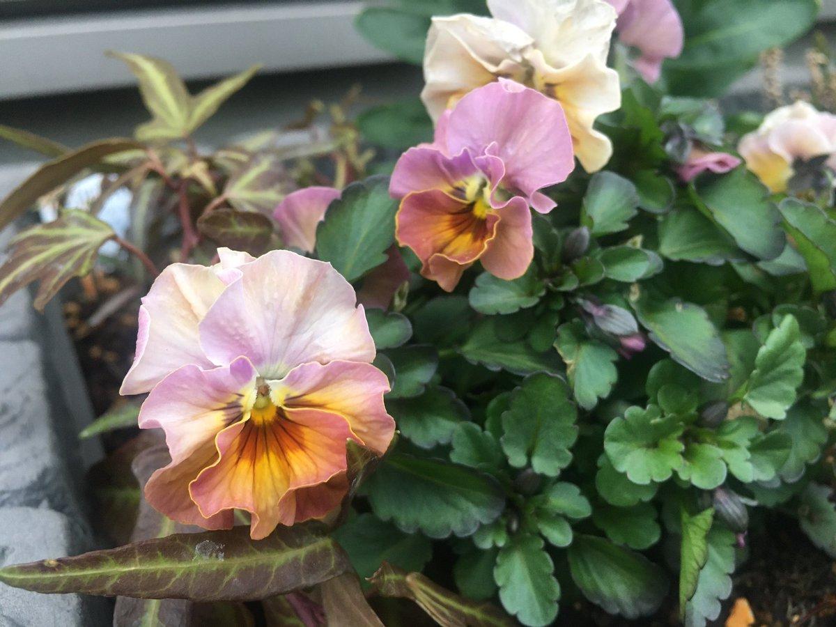 おはようございます☁️ 庭の温度計は2.5℃、風はありませんがどんより曇り空の埼玉北部です。  関東では昨日の暖かさから真冬の寒さに戻る様です。体調に気を付けて暖かくしてお過ごし下さい。  穏やかな一日になりますように🍀゚・*:.。. .。.:*・゜  #flowers #ビオラ #花のある暮らし