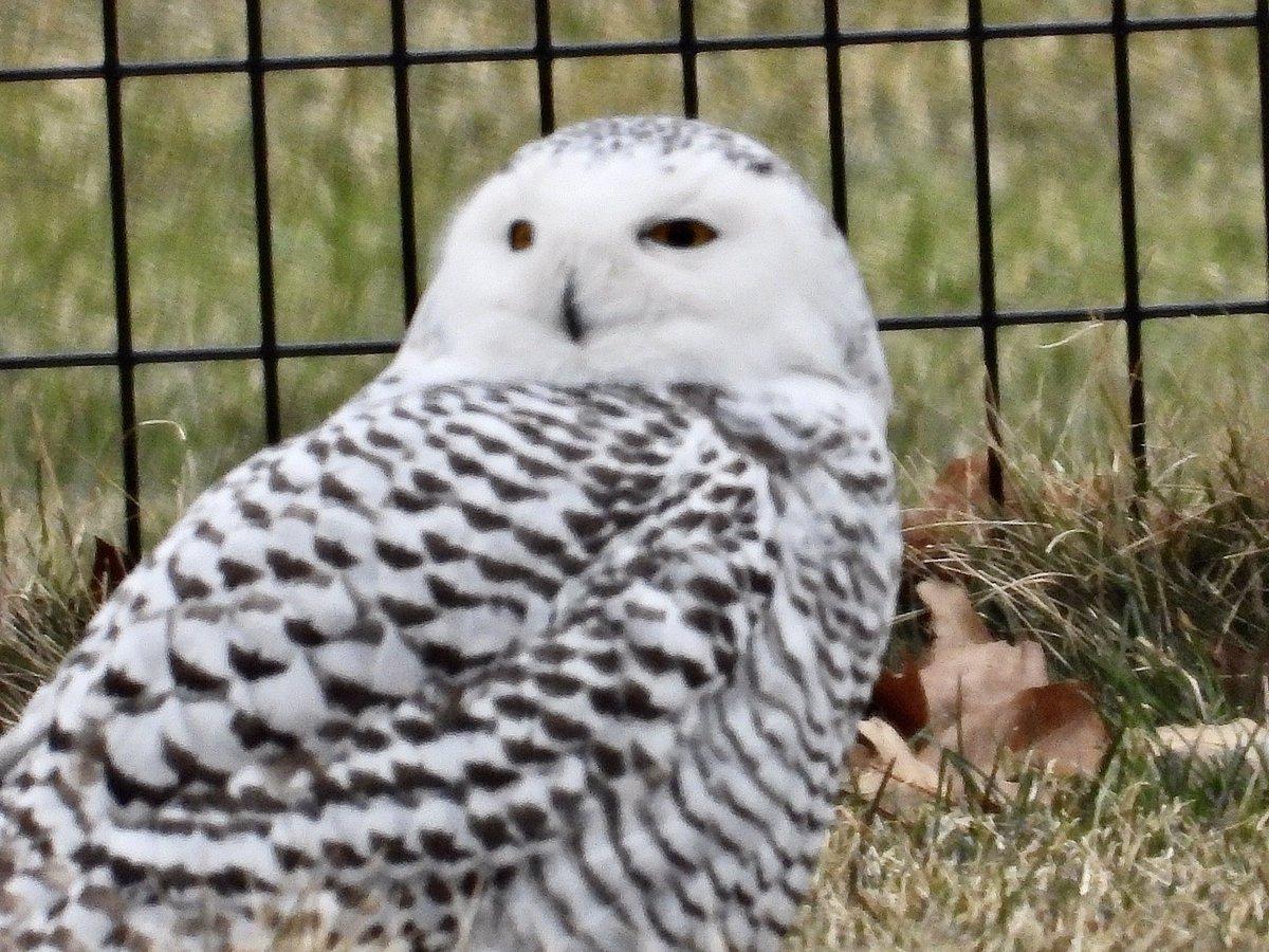 Snowy owl in #centralpark, amazing site! With @econchap1974  #raptors #birdcp #nyc #birding #birdingnyc #owls #owlofnyc