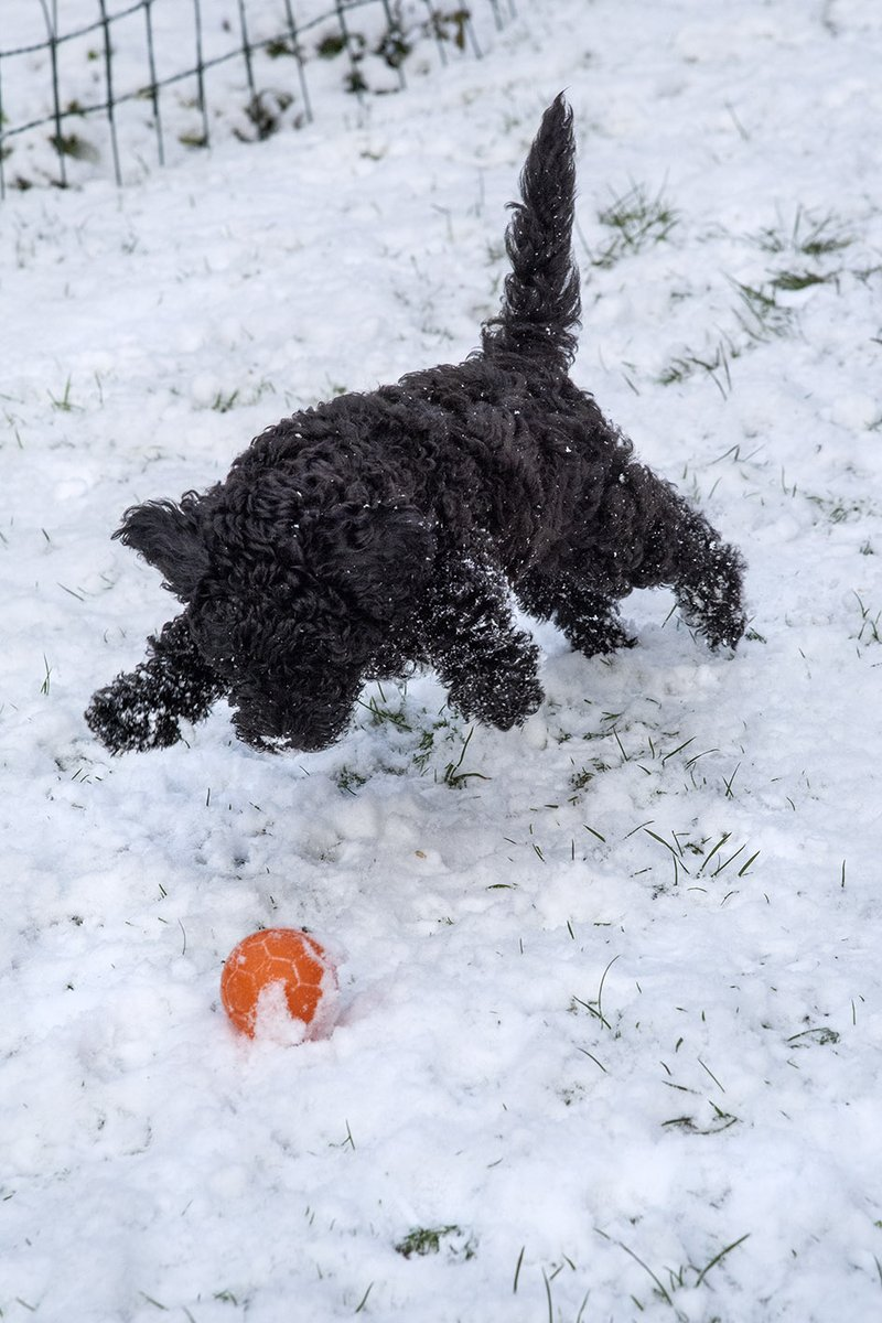 @dionnewarwick Poodle puppy Denis discovering snow in Wales #dionnewarwick