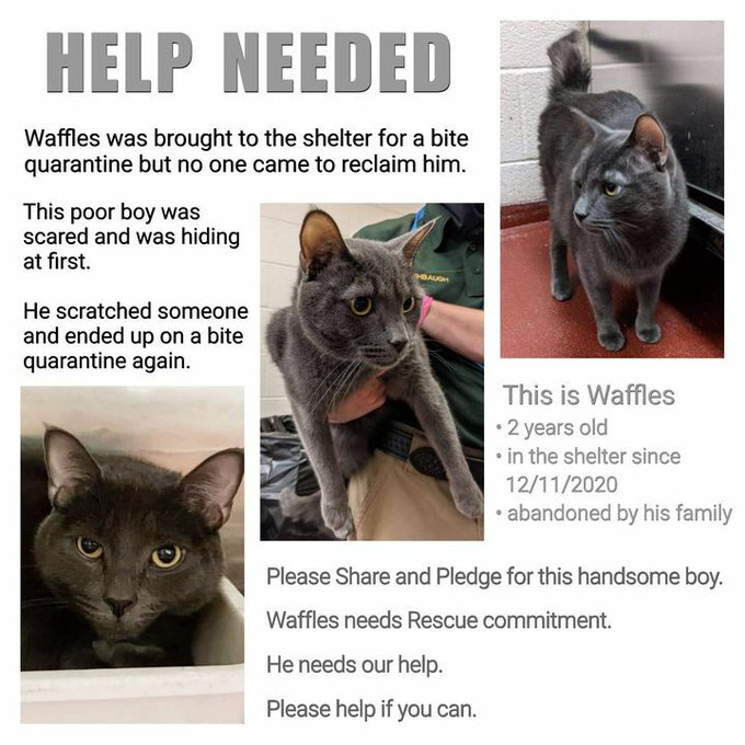 "🆘URGENT!🆘HELP NEEDED🆘 💙SCARED 2YO GRAY/BLUE KITTY ""WAFFLES""💙 😿💔ON HIS  2ND BITE QUARANTINE 🚨NEEDS💰PLEDGES & #RESCUE🚔ASAP!🚨 ▶ID 626443 Cage: 708   🙏🏽#PLEDGE 2 #SAVEALIFE #RescueMe 💞SHARING SAVES LIVES💞 #MARIETTA #GA @cobbkitties #CAT"