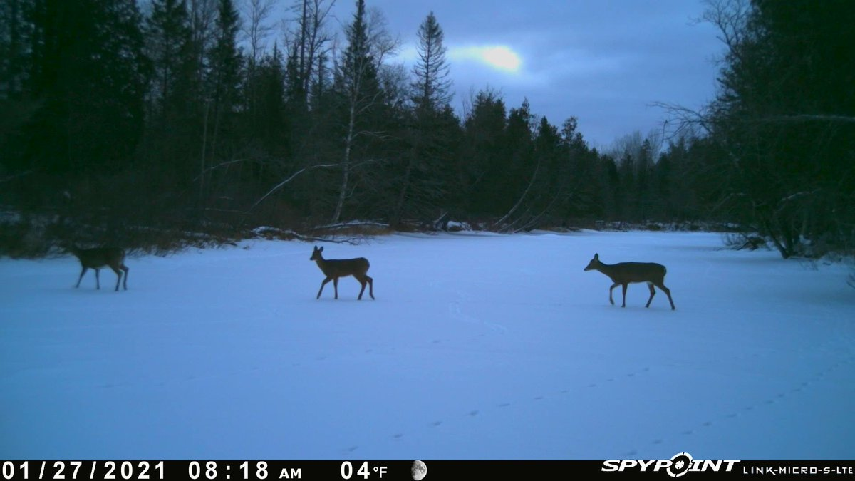 Early morning river crossers #UPofMichigan  #nature #wildlife #mothernature #trailcamera #trailcam #gamecam #gamecamera #Spypoint @SpypointCamera #linkmicro #winter #snow #ice #deer #doe #fawn #fawns #WednesdayWakeups