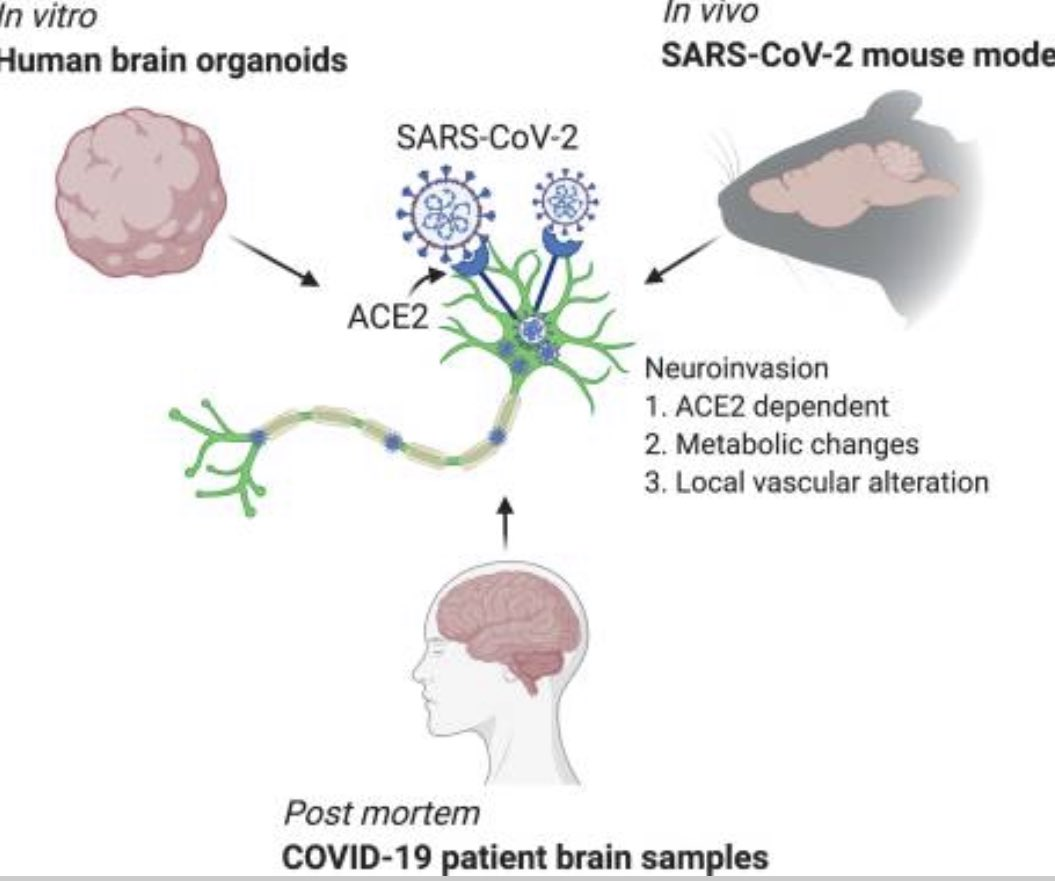 Does neuroinvasion of the brain by #SARSCoV2 happen? Not just in mice, but in *humans*? The clear answer in this study is yes — both demonstrated with human brain cells and brain 🧠 inspection of deceased #COVID19 patients. 🧵 from a peer reviewed paper.