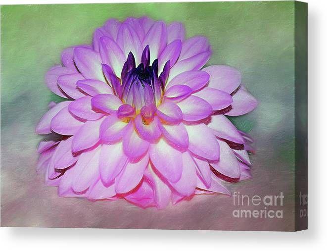 #Pink #Dahlia #Art by Kaye Menner #Canvas #Print / Canvas Art by Kaye Menner
