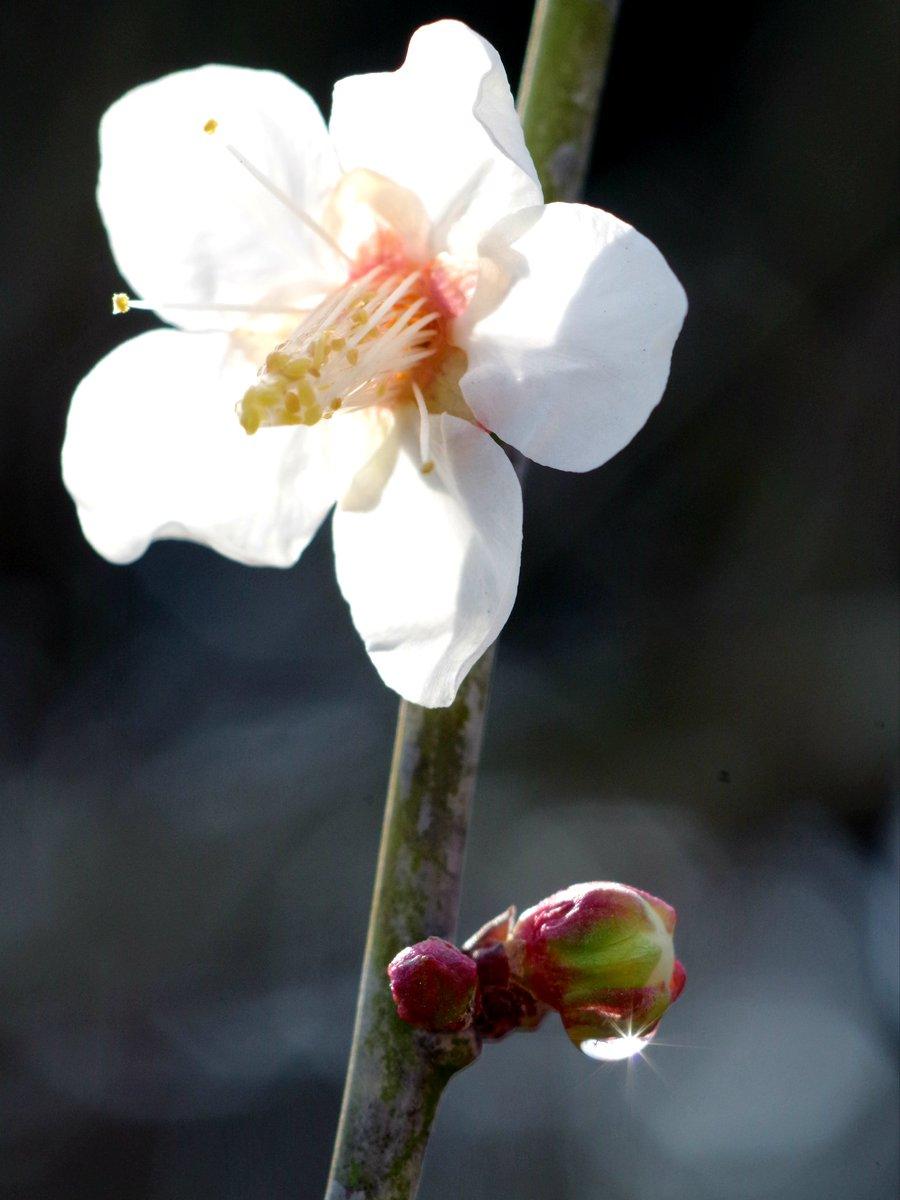 ◎前日の雨粒が残ってました✨。初の太陽光が入った撮影📷✴️。右がトリミング✨。◆ #香川県 #栗林公園 #梅 #水滴 #花写っと #はなまっぷ #カメラ女子 #PENTAX #マクロレンズ #Flowers