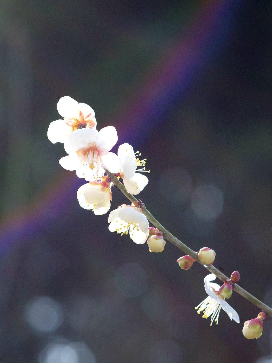 ◎今年に成ってレンズ虹が良く写る様に成りましたね♪。撮った後で判る感じ…😂。◆ #香川県 #栗林公園 #梅 #カメラ女子 #はなまっぷ #花写っと #PENTAX #マクロレンズ #Flowers #虹