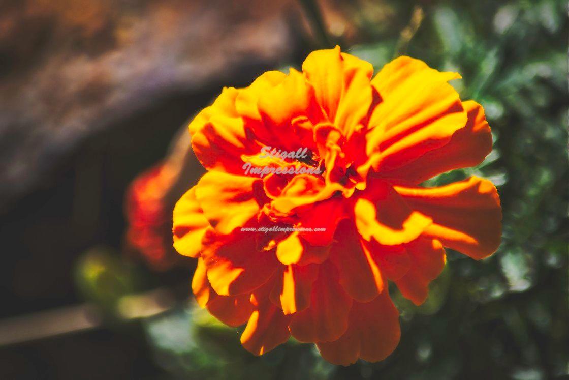 Yellow Marigold. #photography #nature #naturephotography #flowers #marigold