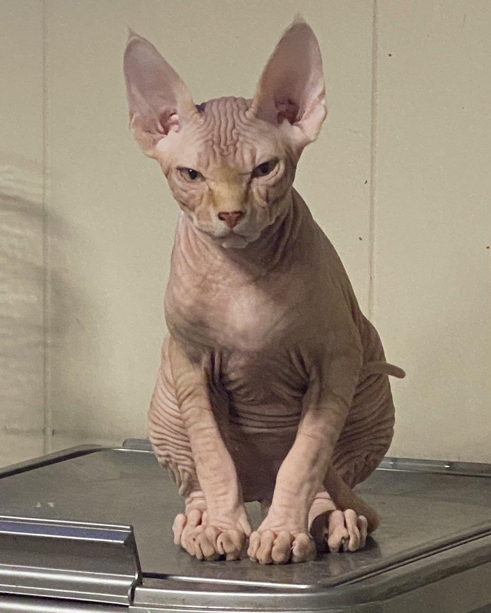 Howard has thoughts #catsjudgingmarjorie