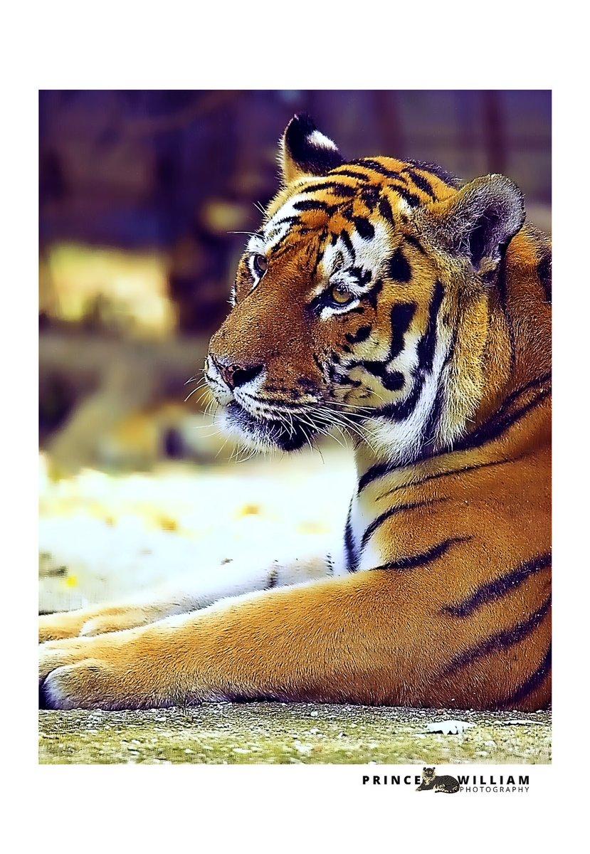 #naturephotos #wildlifephotography #wildnature #photoshoot #toulouse #safari #france #photography #siberiantiger #animallover #animal #savetigers #respectanimals #photooftheday #safari #canon1dxmarkii #canonphotography #canonportrait #canonwildlifephotography #naturephotography