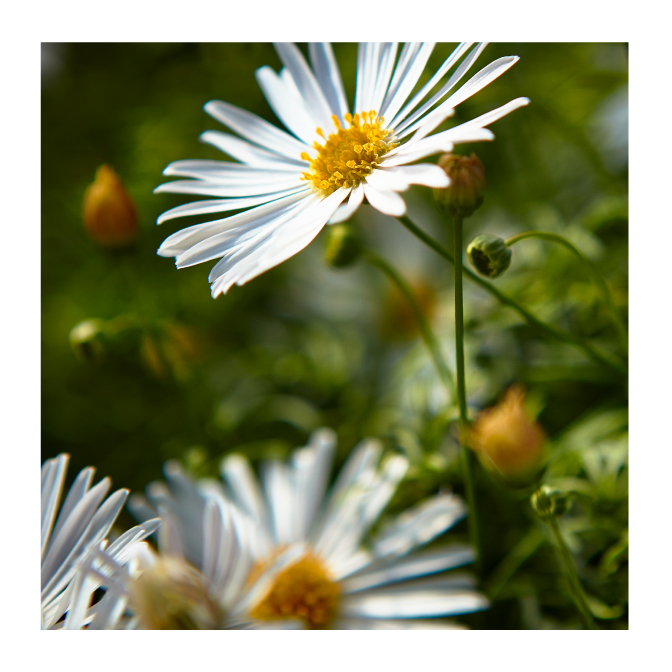 Popular in Europe, Surdaisy® produces hundreds of flowers in continuous color, March through October. Durable plants withstand cold, rain and sun.   #mnpflowers #mnpsuntory #suntoryflowers #champions #pioneers #trendsetters #plants #surdaisy #flowers