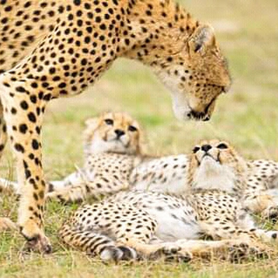 https://t.co/mzvhOLuPjY info@parrotsafaris.com +254710904662 SHOW LOVE FOR YOUR FAMILY on this this Mega Valentine's Day with Parrot Africa Safaris by giving them a new dawn in the Wilde of Masai Mara National Reserve.....  3 DAYS MASAI MARA MAGIC WILDLIFE BUDGET CAMPING SAFARI https://t.co/BNigwM5AvI