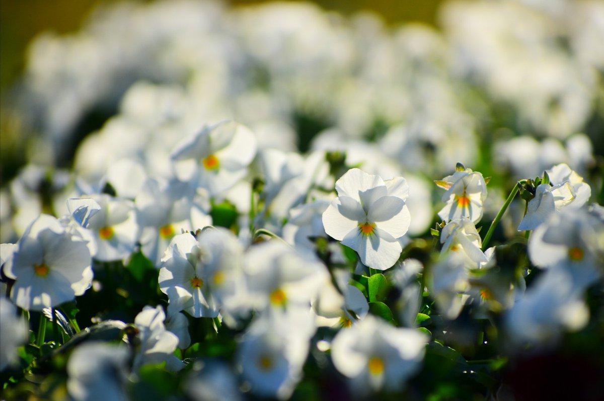 「みよアルバム📷」  白いビオラ☆  1/21  日比谷公園にて…📷  東京も白い雪が降りました❄️  #写真の広場  #キリトリセカイ  #photography  #photo #写真で伝えたい私の世界  #日比谷公園