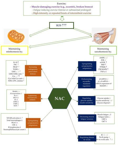 """#Review: """"How N-Acetylcysteine Supplementation Affects #Redox Regulation, Especially at #Mitohormesis and #Sarcohormesis"""". #exercise #NAC #antioxidants #supplements https://t.co/RapQeihaPP https://t.co/ZCddo8wTtA"""