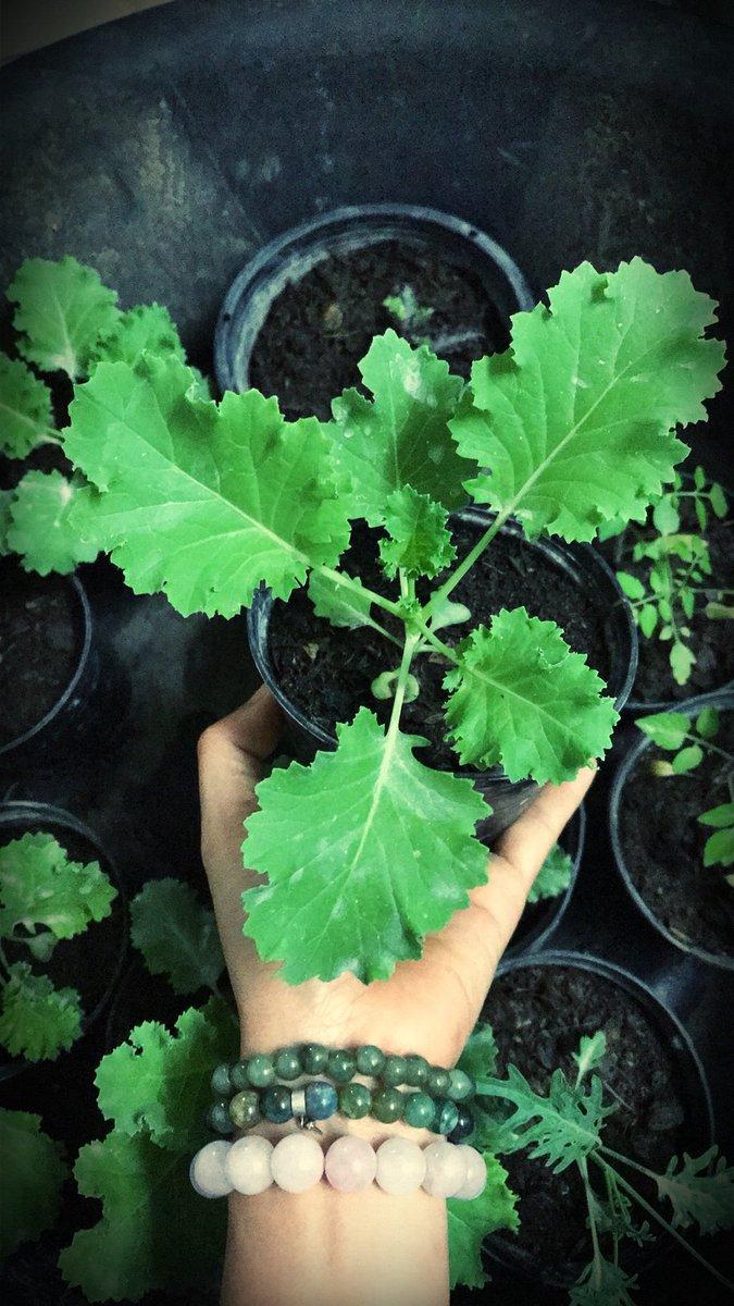 Emerald ice กับ jagallo nero kale  อายุ1เดือนแล้วย้ายกระถางดีกว่า😍 สะสมครบเกิน10พันธุ์แล้วมั้งเนี่ย #kale #superfood   #ผักเคล #เคล https://t.co/W73iU0bRJf