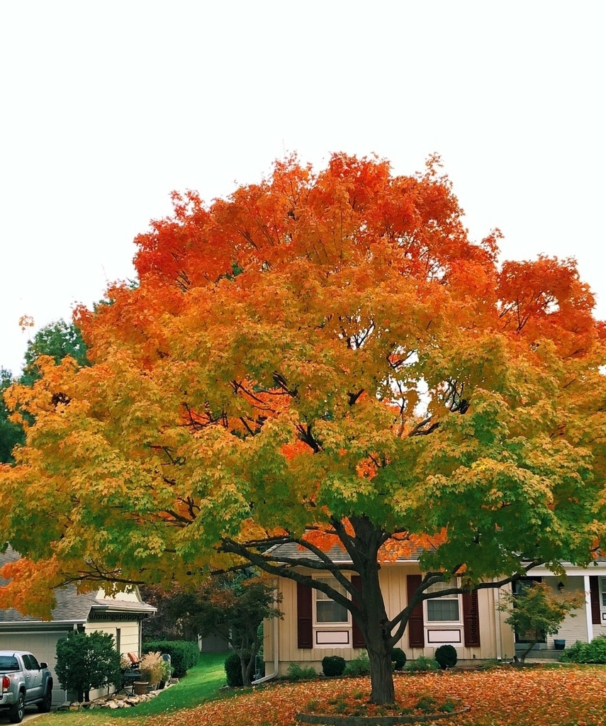 The tree has the perfect autumn gradient #nature