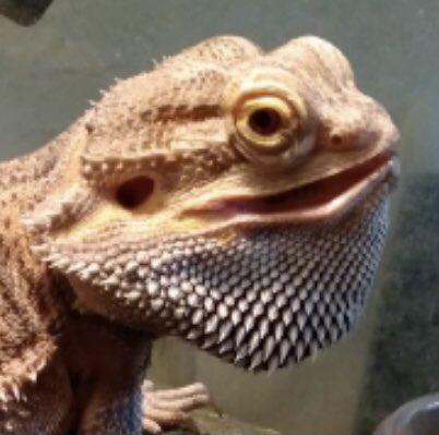 Bearded Dragons can judge, too #catsjudgingmarjorie