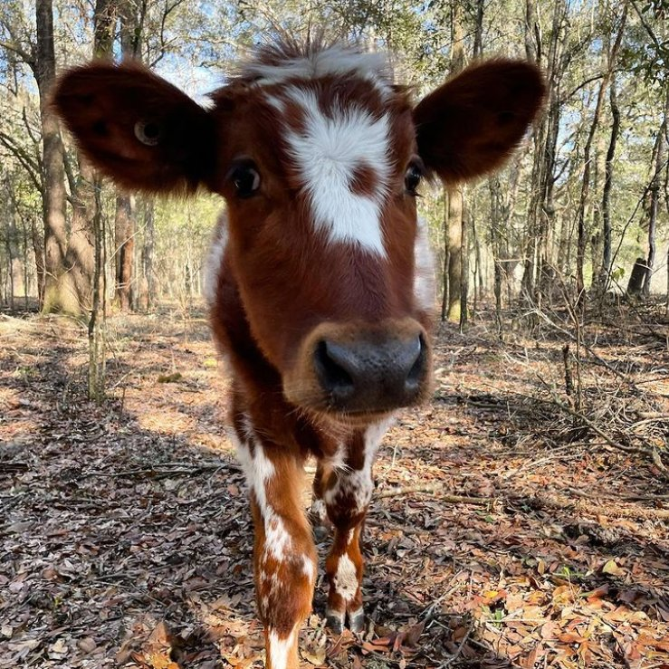 #LoveaCow 🐮 Lenny is a curious boy who was rescued from a dairy farm, he continues to grow every day with the care of Peacefield Farm Sanctuary 💕 Follow them ➡️ Instagram/peacefield.farm