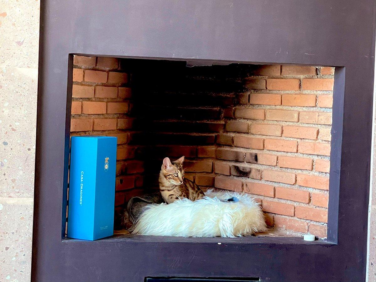 #Luanda #bengali #CatsOfTwitter #CatsOnTwitter #Catsjudgingkellyanne #catlovers @catloversday