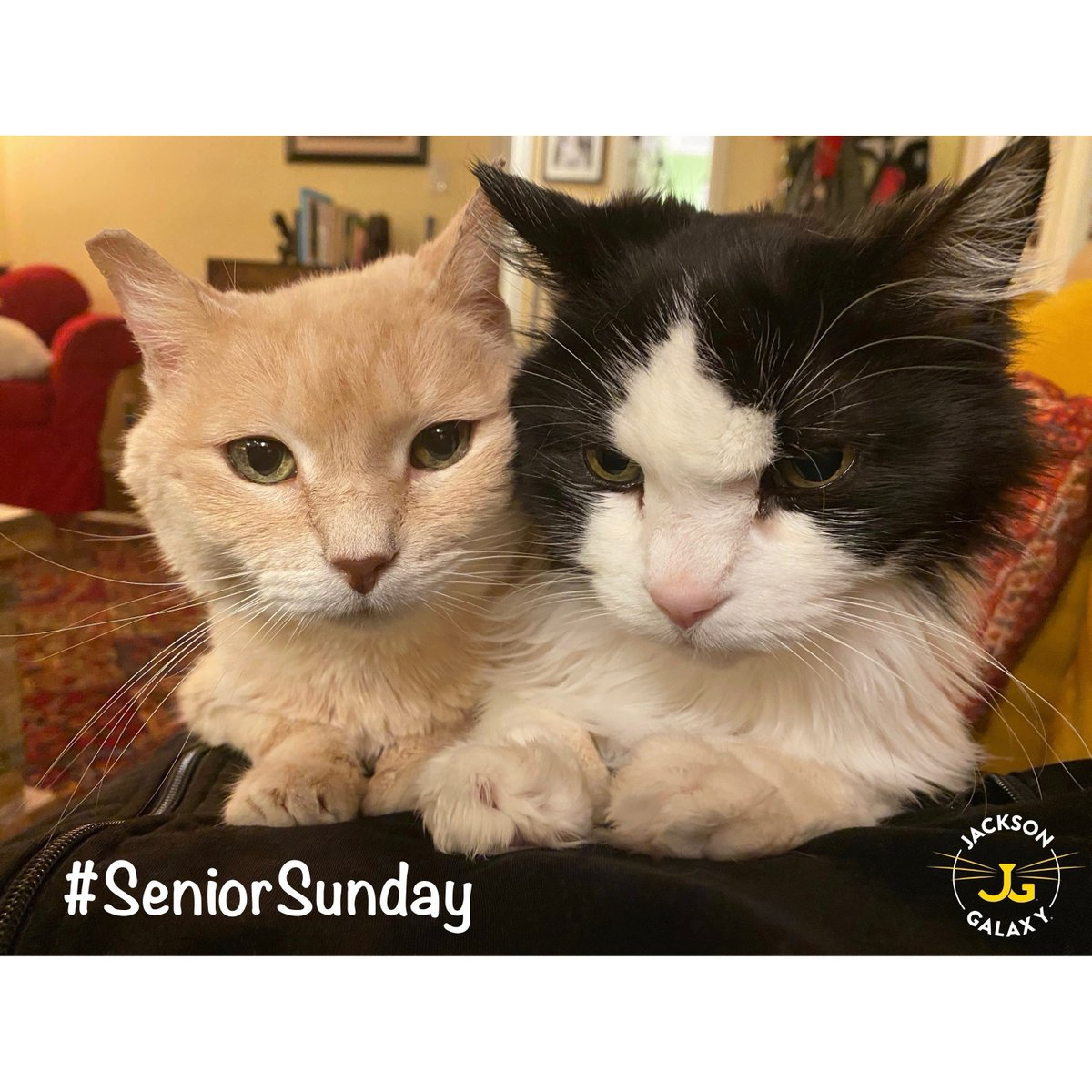 Gabby (on left) and Pishi are currently two of our oldest seniors, at 16 and 17 years old. Pishi had been enjoying some solo couch-time on my chest when Gabby squeezed her way onboard. Clearly, Pishi was...thrilled with this new arrangement. #SeniorSunday