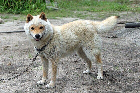 山陰柴犬という種類の柴犬を教えてもらったのですが。 冬毛見て笑いました🤣