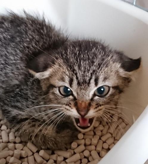 よかった「シャー!」と威かくする野良猫→ヘソ天すやぁ……な家猫に 愛情を受けた猫のビフォーアフターに心があたたまる