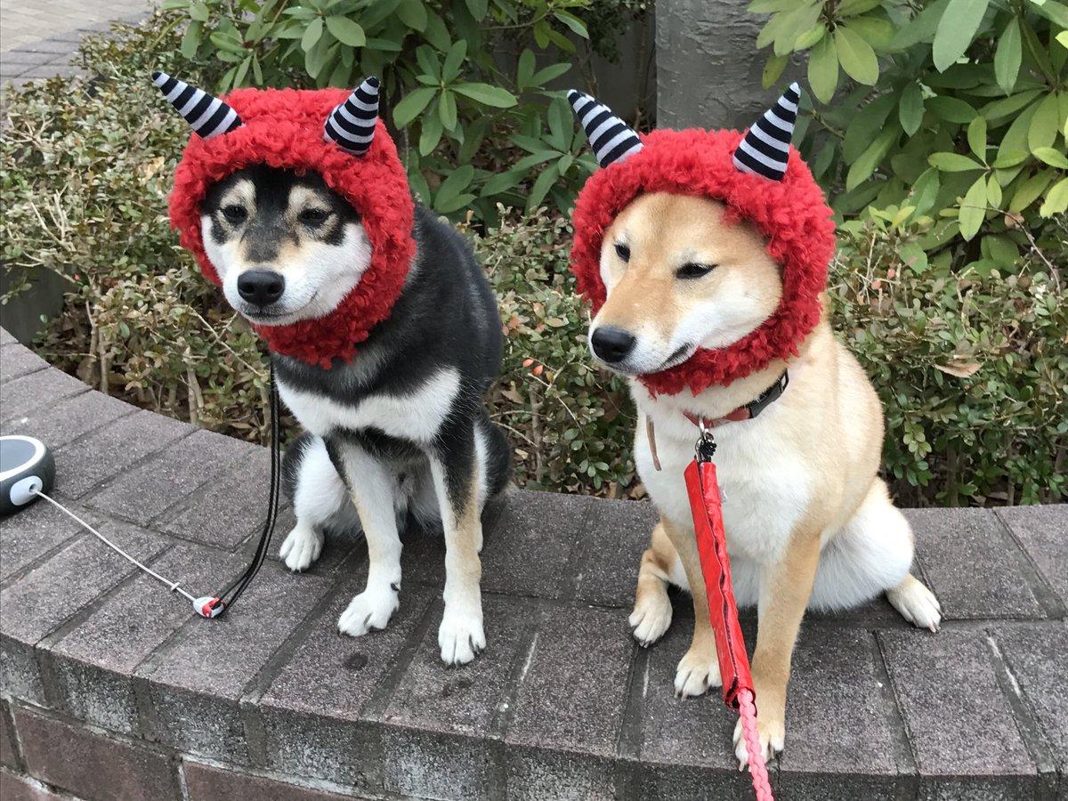 かん た 柴犬