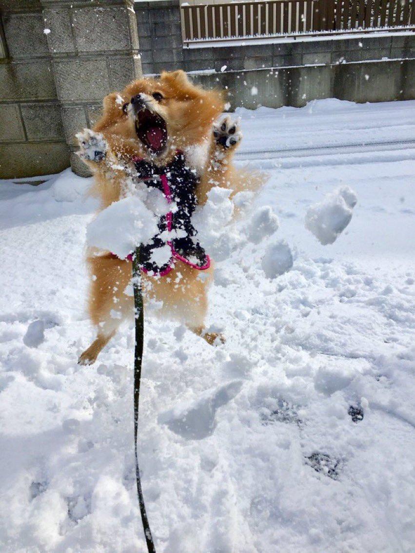 雪で遊ぶうちのイッヌを見てほしい