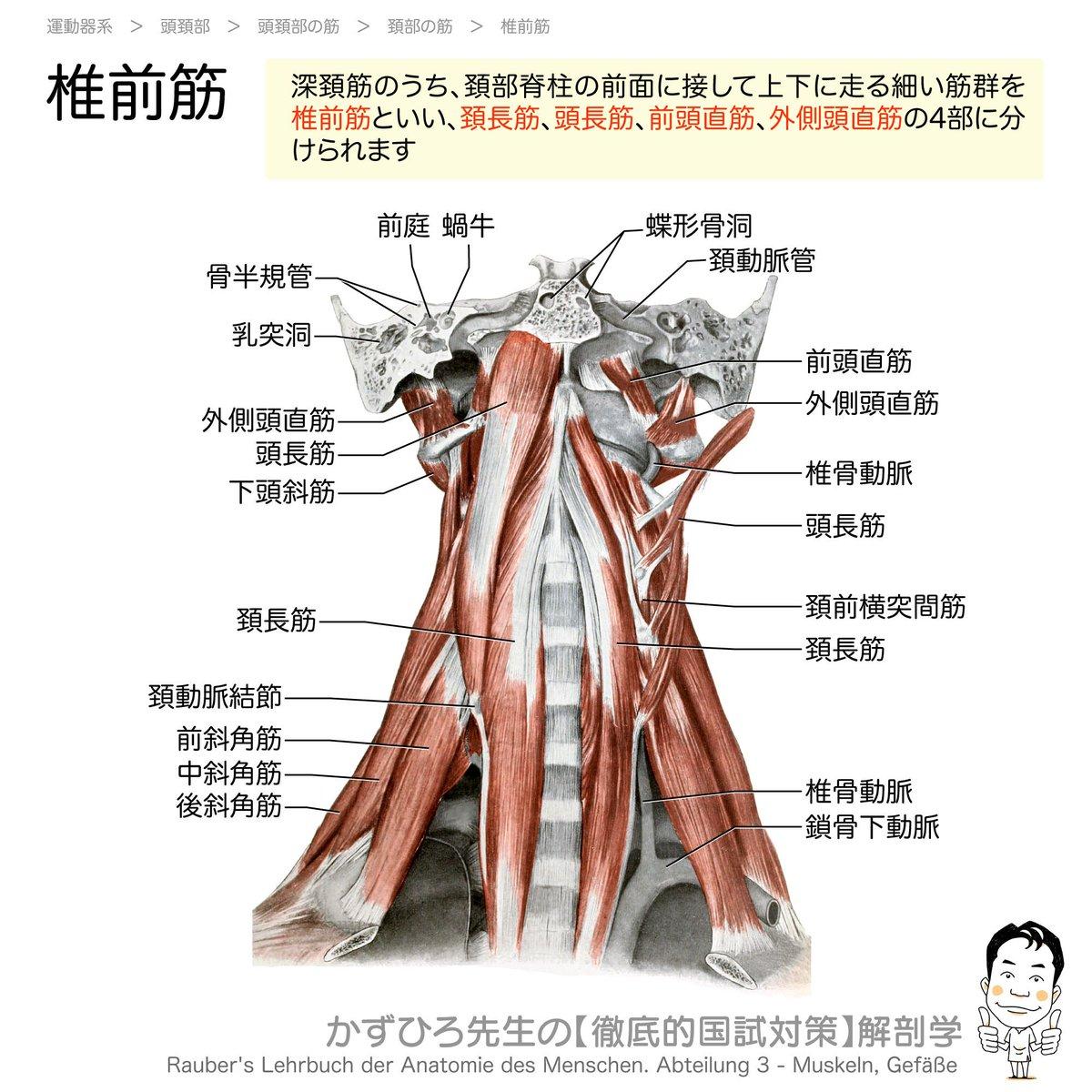 【椎前筋】深頚筋のうち、頚部脊柱の前面に接して上下に走る細い筋群を #椎前筋 といい、 #頚長筋 、 #頭長筋 、 #前頭直筋 、 #外側頭直筋 の4部に分けられます頚の前屈(両側)や側屈(片側)に働きます【アナトミーブートキャンプ】2/3まで早割(4,000 → 3,000円)