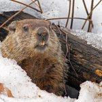 Image for the Tweet beginning: Happy Groundhog Day. Lets's hope