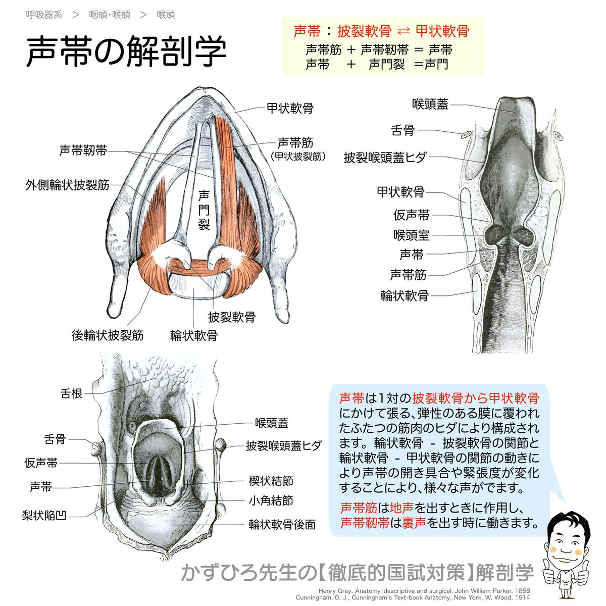 【声帯の解剖学】#声帯 : #披裂軟骨 ⇄ #甲状軟骨#声帯筋 + #声帯靭帯 = #声帯#声帯 + #声門裂 = #声門輪状軟骨 - 披裂軟骨と 輪状軟骨 - 甲状軟骨の関節の動きにより声帯の開き具合や緊張度が変化し様々な声がでます【アナトミーブートキャンプ2021】早割2/3まで