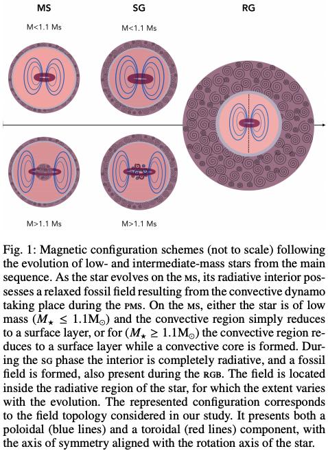 #キャルちゃんのarXiv読み太陽と同質量程度の恒星内部磁場が恒星振動モードに与える影響を研究。典型的な化石磁場の大きさである0.1-1MG程度だと、赤色巨星分枝の混合モード周波数のmultipletsに大きな非対称性を生む。星振動データから化石磁場の情報が取り出せるかも。