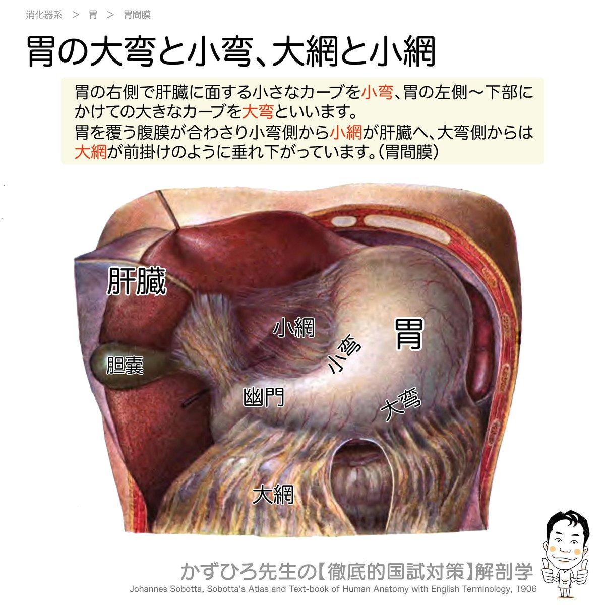 【胃の大弯と小弯、大網と小網】#胃 の右側で肝臓に面する小カーブが #小弯 、胃の左側〜下部にかけての大カーブが #大弯胃を覆う腹膜が合わさり小弯側から #小網 が肝臓へ、大弯側からは #大網 が垂れ下がっています。( #胃間膜 )【アナトミーブートキャンプ】