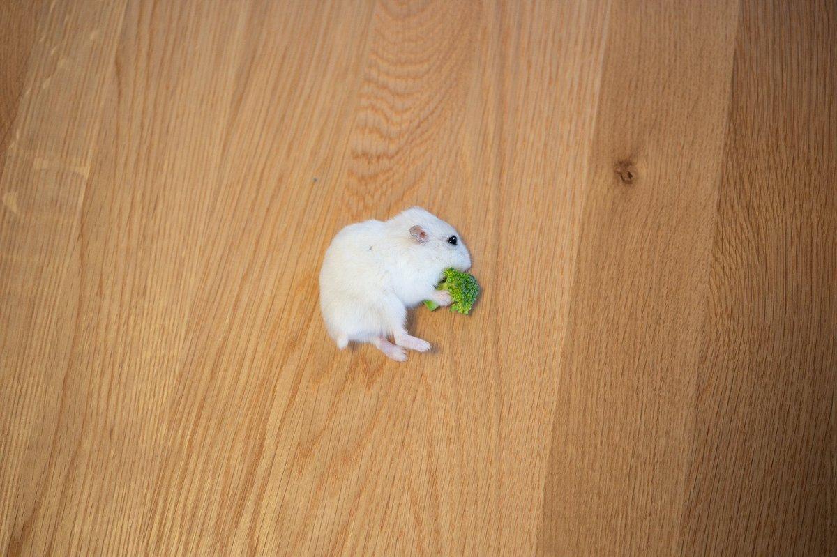 横たわって食べるハムスター
