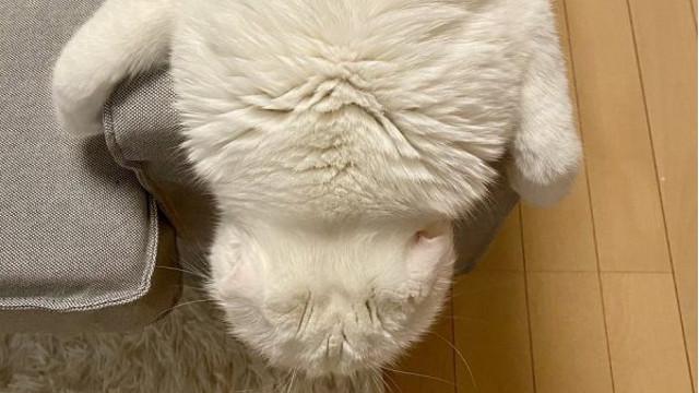 一見、何の生き物?って感じですが、猫さんです!なんでこんな格好になっちゃうのか、飼い主さんに聞いてみました。#猫好きさんと繋がりたい