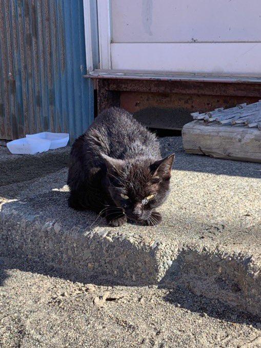 父の職場に現れた黒猫最初会った時は野生感満載だったけど、ご飯あげて会社で可愛がったらここまで変わったと…愛情って大事なのね🐈